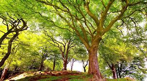 Centenários de árvores